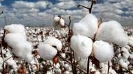 پیش بینی تولید بیش از ۲۰۰ هزار تن وش پنبه در شرایط خشکسالی