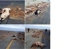 تلف شدن 60 راس گوسفند بر اثر برخورد با تریلی در مسیر ایرانشهر - بزمان