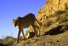 مشاهده 14 قلاده یوزپلنگ در منطقه توران شاهرود