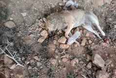 تکذیب شهرداری در مورد شایعه سگ کشی در کهریزک