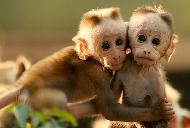 عذرخواهی فولکس بابت استفاده از میمون در تست آلایندگی اگزوز