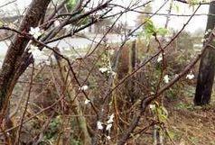 شکوفه دادن درختان میوه در آستارا