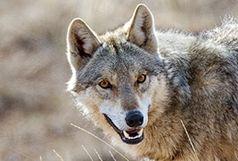 نجات دو جوان همدانی از چنگال گرگ ها