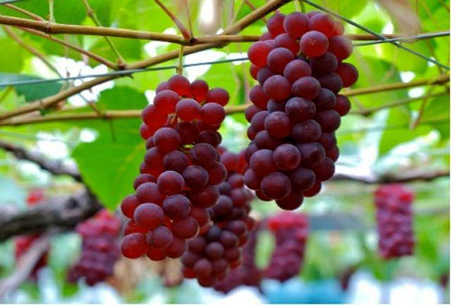 برداشت محصول باغ انگور زنان سرپرست خانوار ابهری آغاز شد