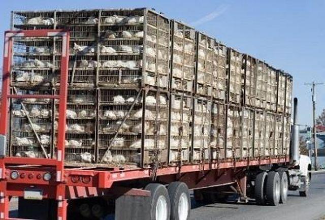 کشف بیش از10 تن مرغ قاچاق در شهرستان سیروان