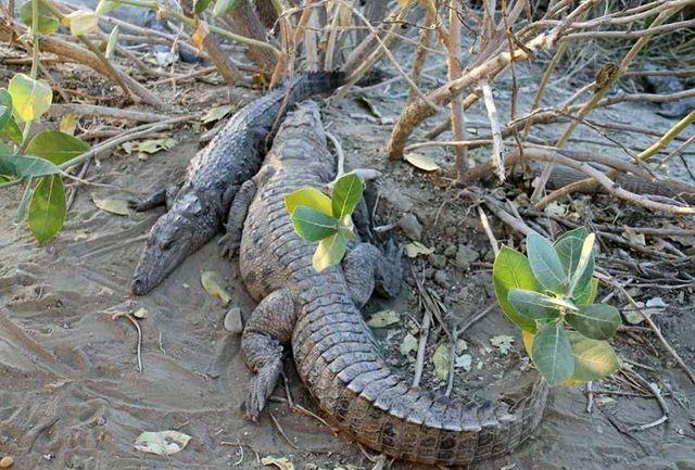 398 تمساح پوزه کوتاه در جنوب سیستان و بلوچستان سرشماری شدند