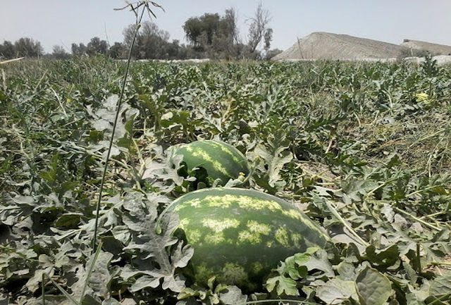 کشت بهاره هندوانه در استان