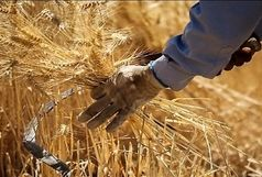 پیش بینی برداشت ۷۰ هزار تن گندم از مزارع شهرستان نقده