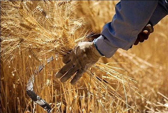 تمامی مطالبات گندم کاران آذربایجانغربی پرداخت شد