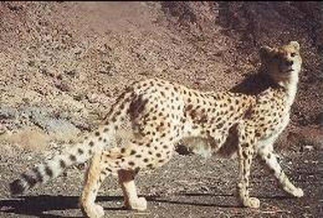 مرگ مسنترین یوزپلنگ جهان در طبس