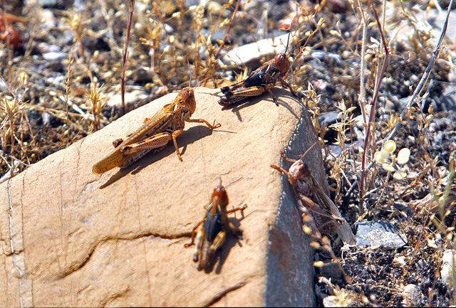 مبارزه با آفت ملخ در اراضی کشاورزی قزوین آغاز شد