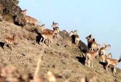 شکار غیر مجاز ۱۴۴۳ گونه حیات وحش در خراسان جنوبی