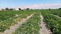 آغاز برداشت گوجه فرنگی از سطح ۱۵۰۰ هکتار اراضی شهرستان خمیر