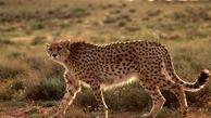 مشاهده یوزپلنگ ایرانی برای سومین بار در خراسان شمالی