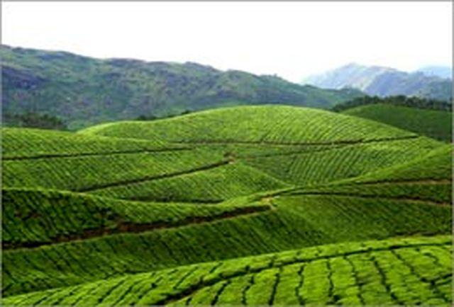 مساحی و نقشهبرداری باغهای چای از اولویتهای سازمانچای است