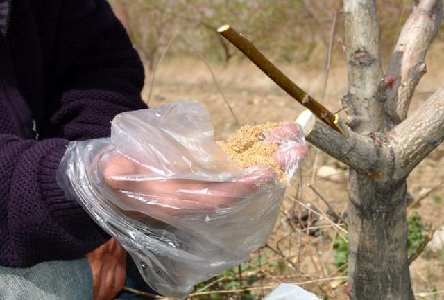 3 هزار و 500 اصله درخت گردو در نهاوند سرشاخهکاری شدند