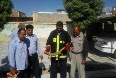 زنده گیری بزمجه سرگردان در فضای سبز ایرانشهر