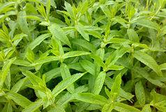با این گیاهان دارویی معجزه آسا عفونت را نابود کنید!