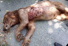 مرگ یک قلاده خرس در ماسال