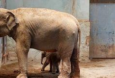 اولین تصاویر از بچه فیل تازه متولد شده باغ وحش ارم+ فیلم