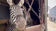 گورخرهای آفریقایی باید با پشم بند جا به جا میشدند/ هنوز دلیل  تلف شدن گورخر نر مشخص نیست