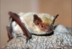 مشاهده شدن خفاش بال سفید برای نخستین بار در یزد