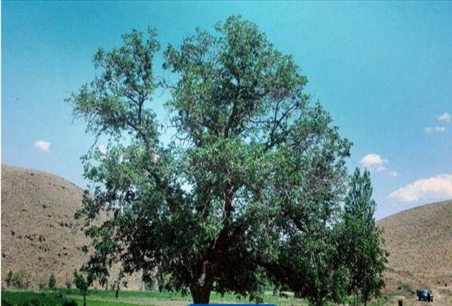ثبت ملی درخت گردوی کهنسال گل زرد در الیگودرز