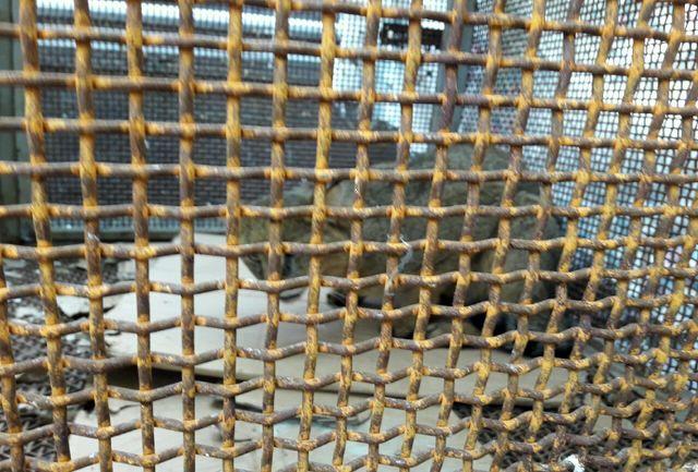 رها سازی یک قلاده گربه جنگلی