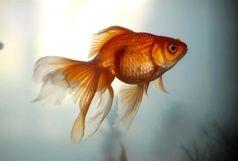 روش های افزایش طول عمر ماهی قرمز