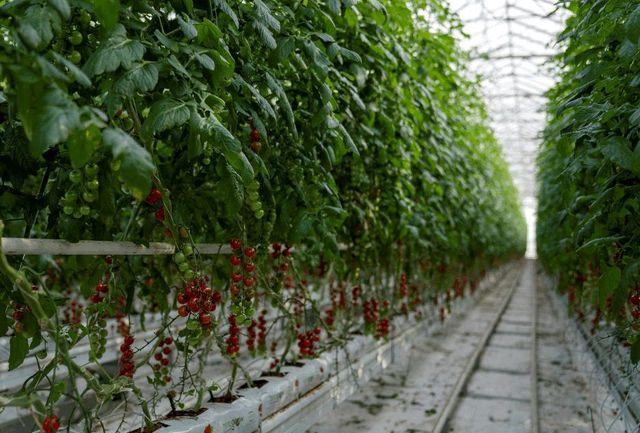 تولید سالانه ۱۱۰۰ تن انواع محصولات گلخانهای در نقده