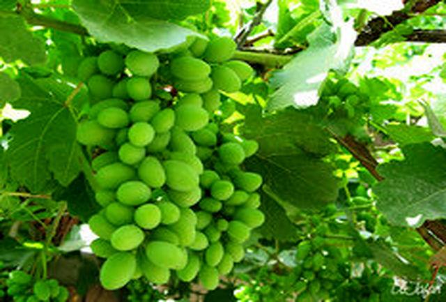 آغاز برداشت غوره انگور از باغات شهرستان تاکستان