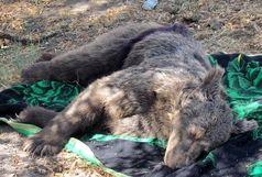 مرگ خرس قهوهای در تصادف با خودرو