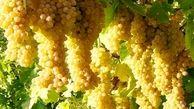 برداشت بیش از ۲۵۳ هزارتن انگور از باغات آذربایجانغربی