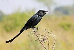 مشاهده پرنده نادر «بوچانگاه» در کهگیلویه
