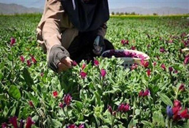 کشت ۶٢ هکتار گیاهان دارویی در شهرستان هیرمند