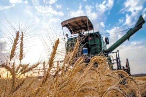 میانگین درآمد گندمکاران 4 برابر شد/ خودکفایی در تولید دانههای روغنی