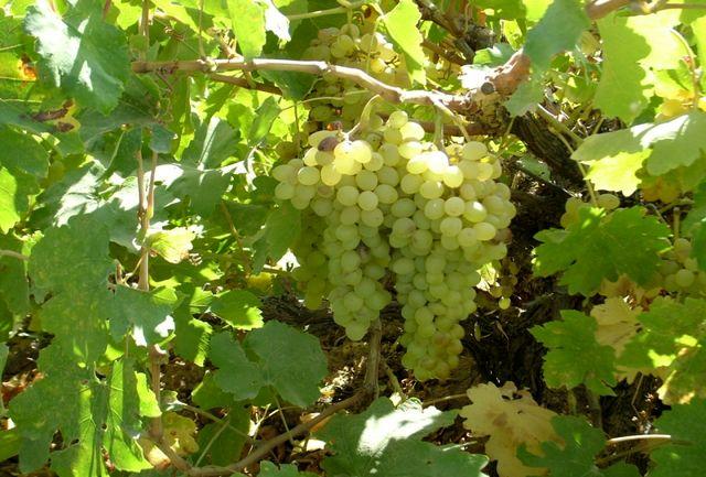 آغاز برداشت انگور از باغات شهرستان قزوین