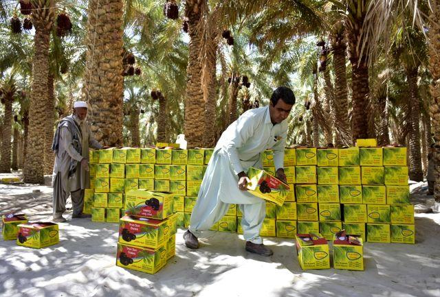 برداشت بیش از 200هزار تن خرما در سیستان و بلوچستان