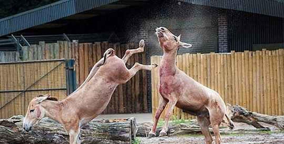 دعوای خونین الاغها! + عکس