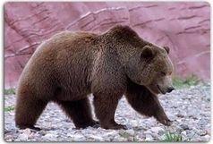 شناسایی ۳۰ قلاده خرس قهوهای نادر در مشگین شهر