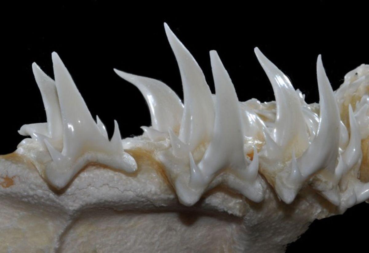 تیزترین دندان ها متعلق به چه موجوداتی است؟