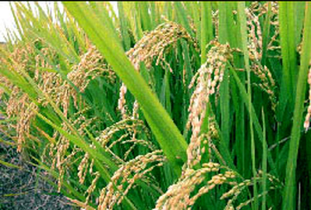 بستر رقابت برنج ایرانی با کشورهای همسایه فراهم میشود