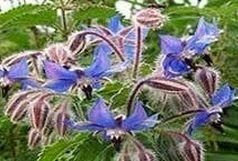 برداشت ۱۰ تن گیاه دارویی علف گاوزبان از مراتع گرمسیری  پلدختر