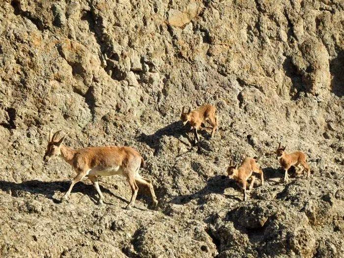 افزایش جمعیت گونه های علفخواران وحشی