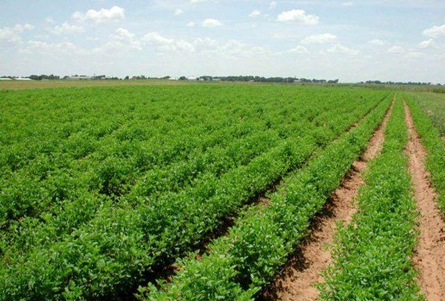 ۳۴ هزار هکتار زمینهای زراعی شادگان زیر کشت پاییزه میرود