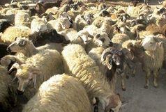 کشف 33 رأس گوسفند قاچاق در زاهدان