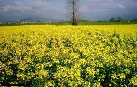 افزایش 27 درصدی سطح زیر کشت کلزا در آذربایجان غربی