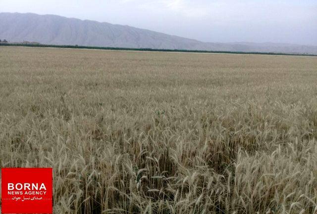 خرید بیش از۱۲ هزار تن گندم از کشاورزان استان