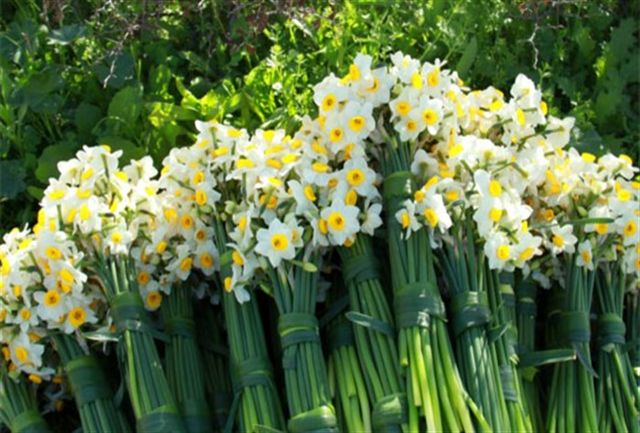 رایحه درمانی با گل نرگس فرصتی مغفول مانده در خراسان جنوبی