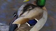 اردک های سرسبز مهاجران جدید به دریاچه چیتگر